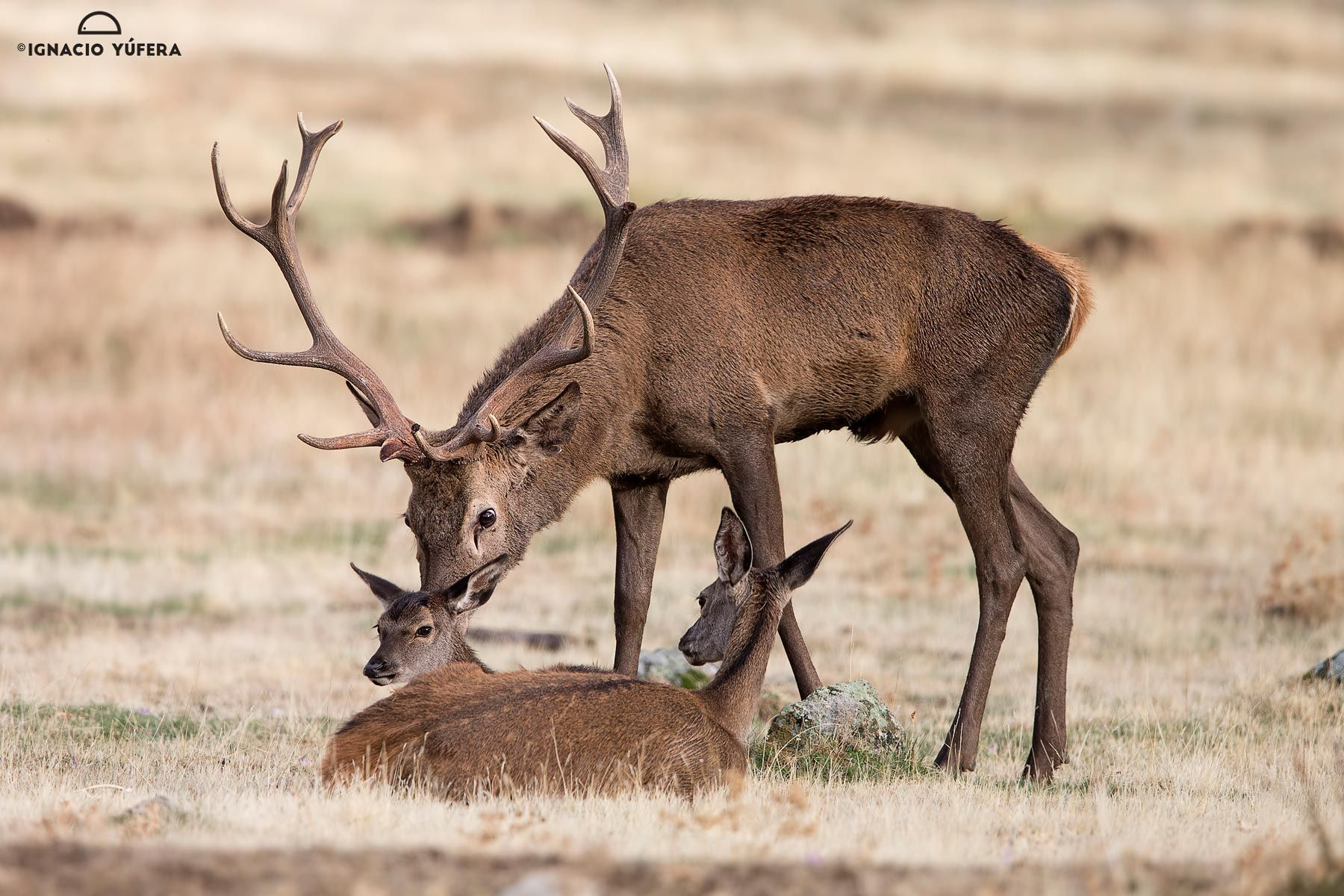 Red Deer with Young