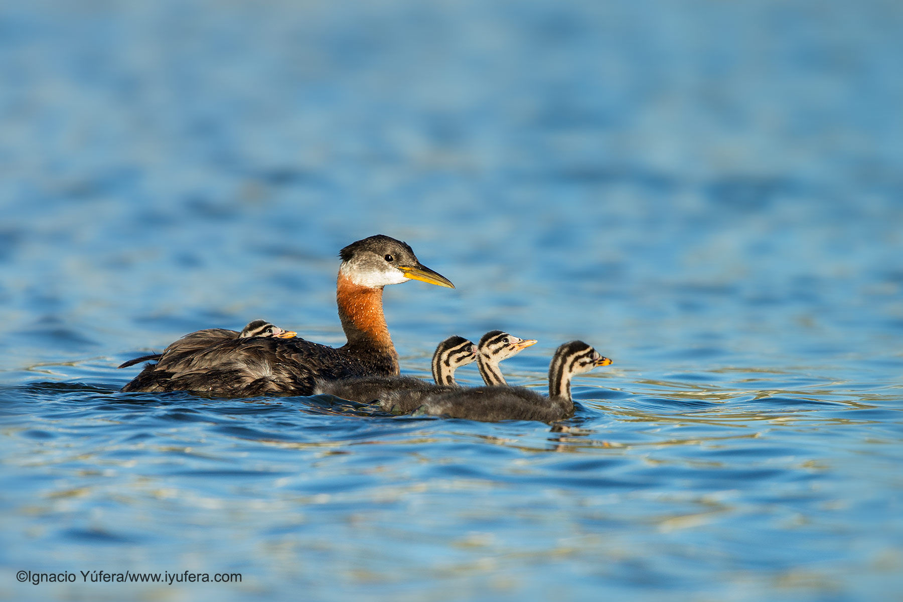 red necked grebe family