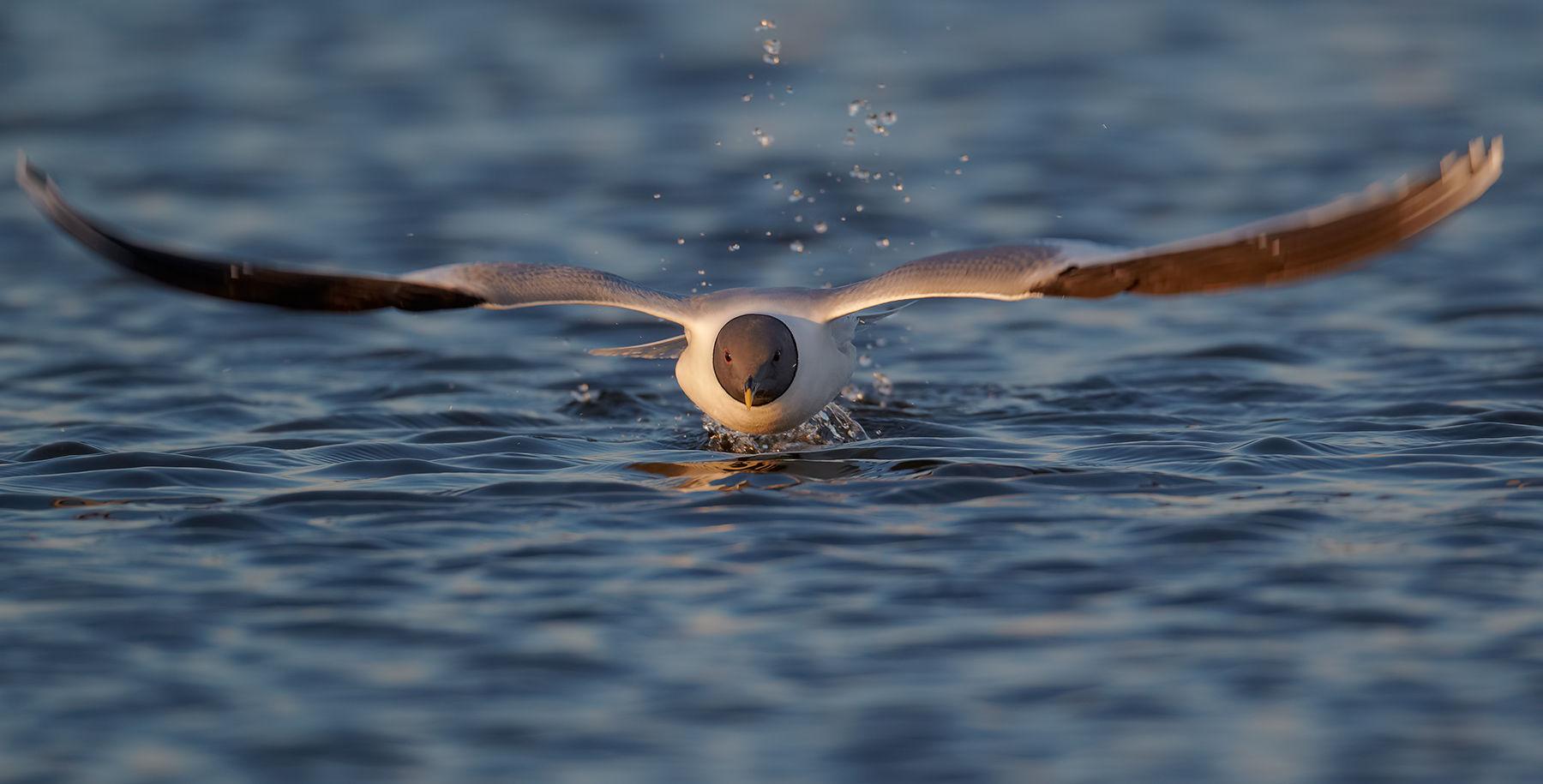 sabie's gull