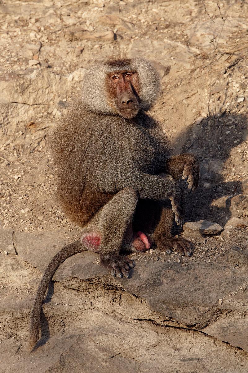 Hamadryas (sacred) Baboon