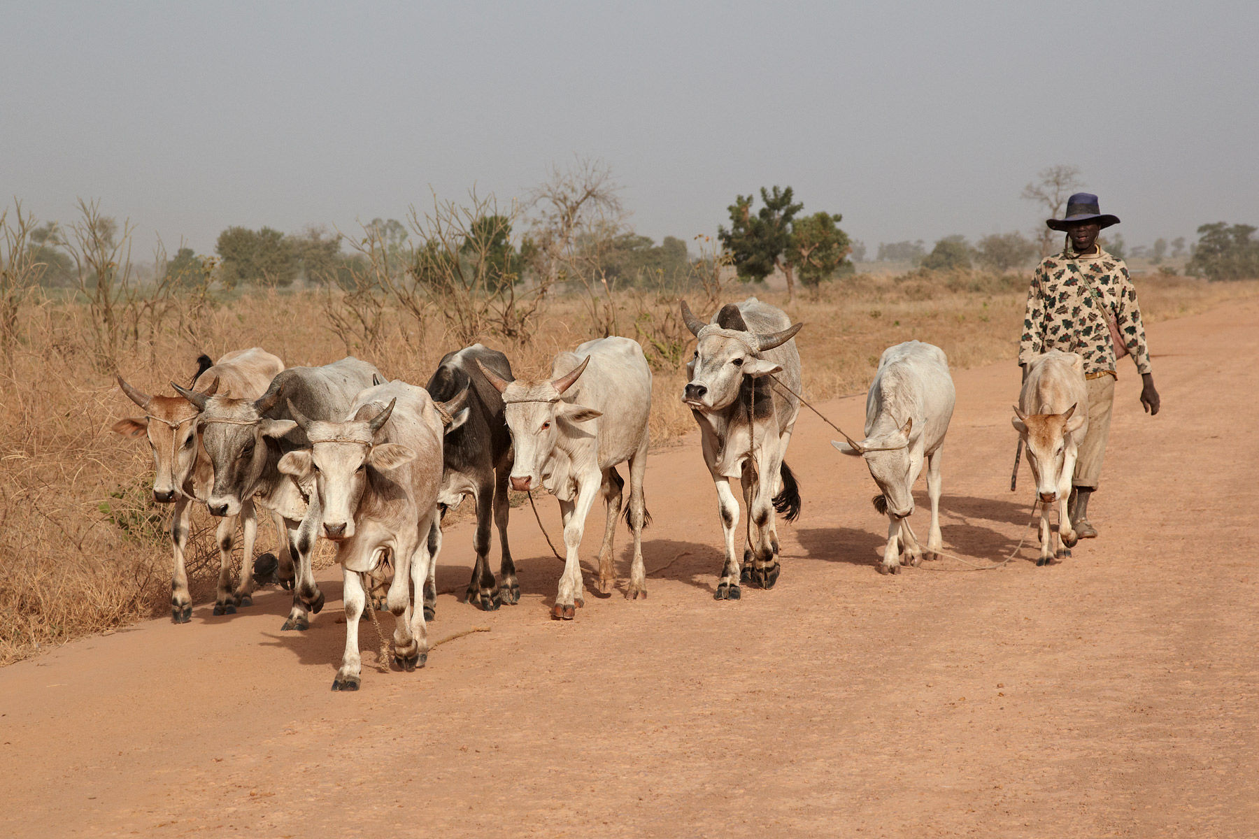 Senegalese Cattle Driver