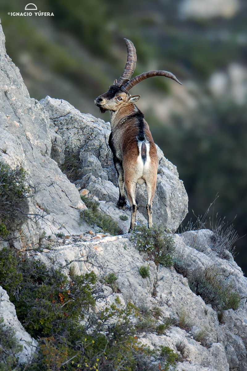 spanish ibex back