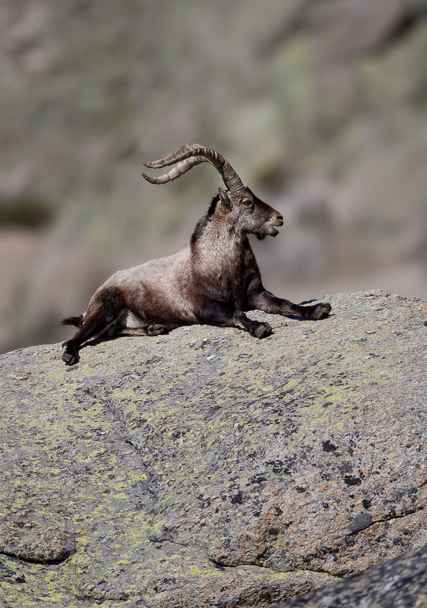 spanish ibex lying on rock