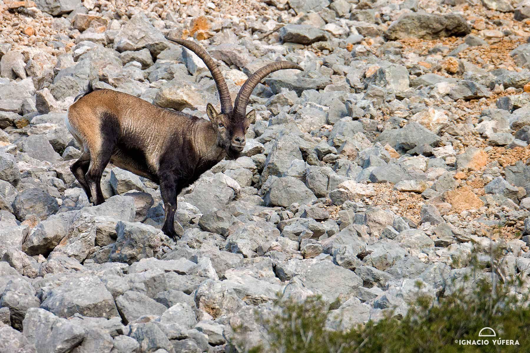 spanish ibex pedriza