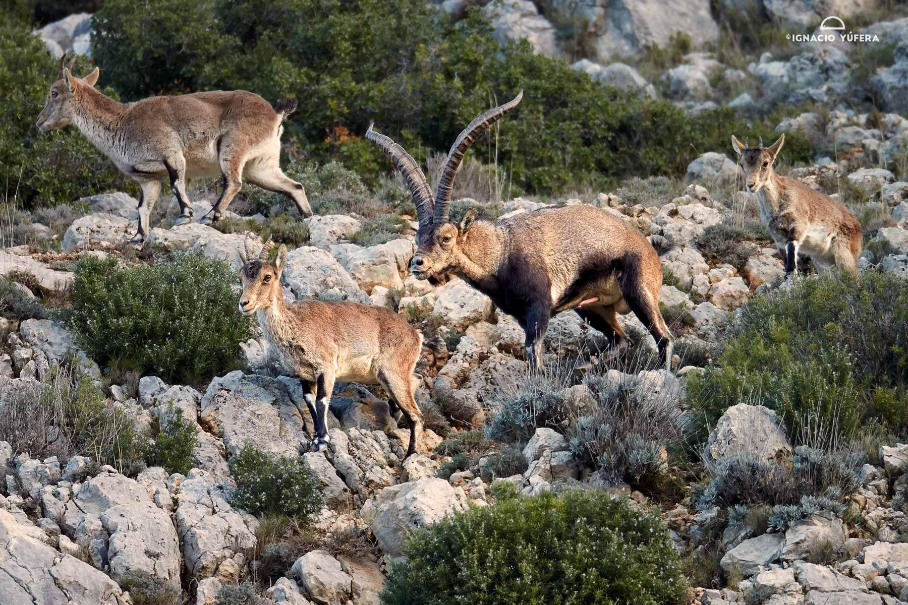 spanish ibex rut