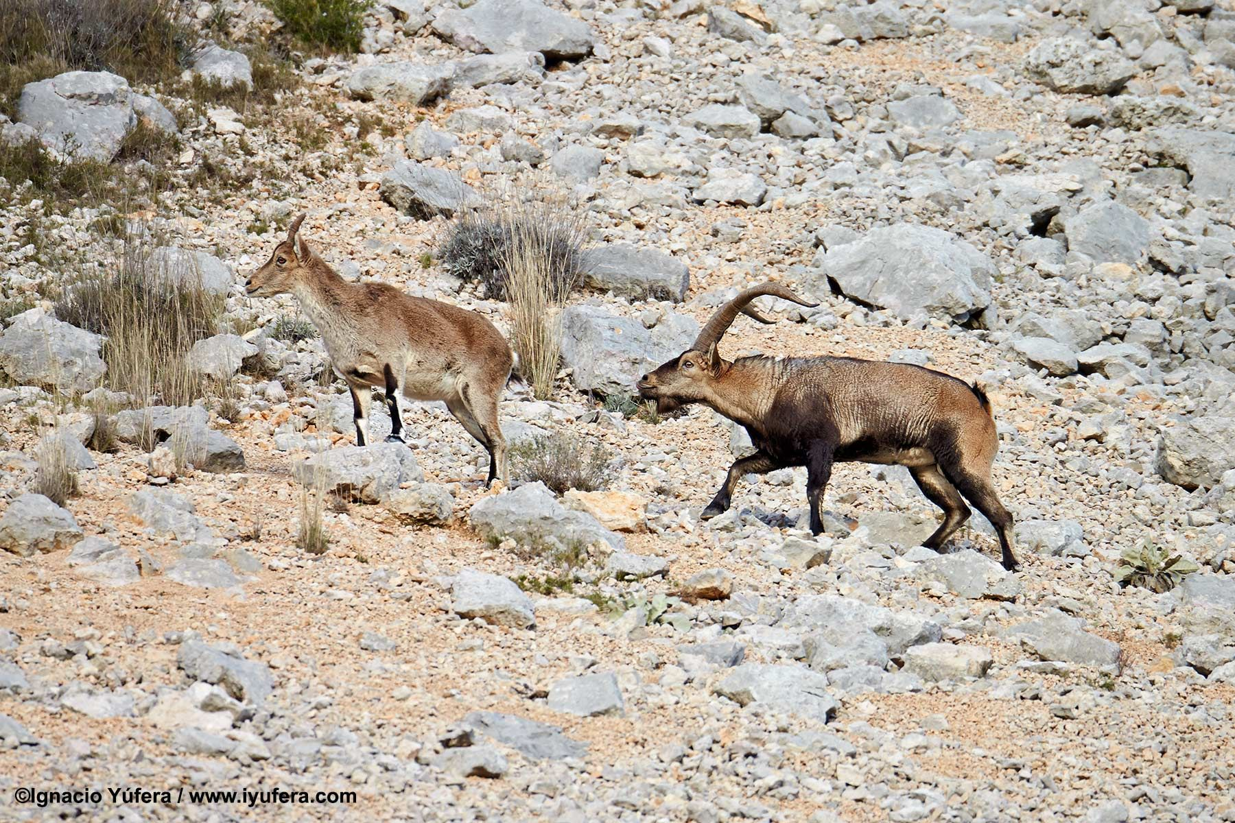 Spanish Ibex pair