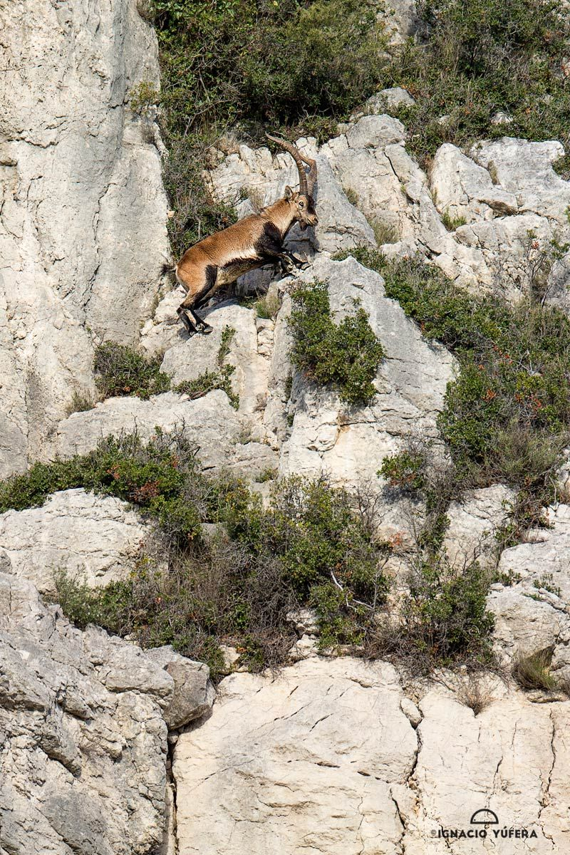 Spanish Ibex wall