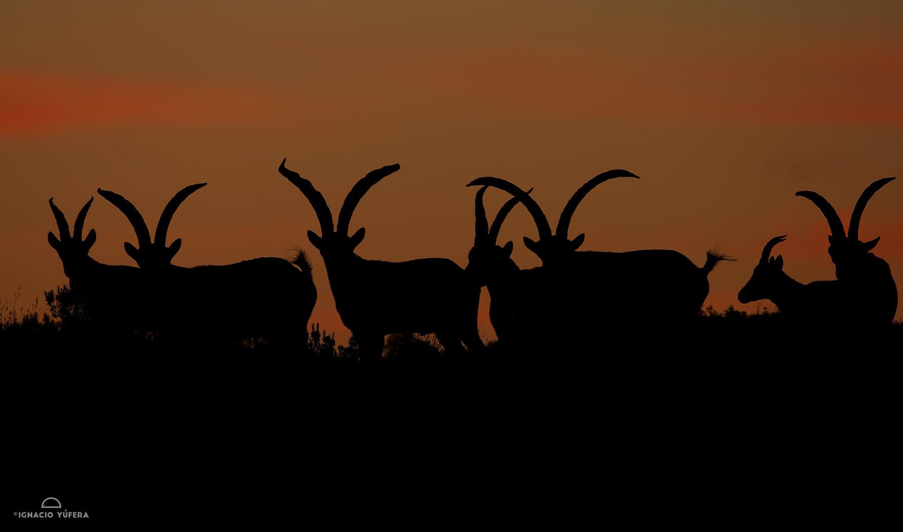 spaqnish ibex lineup