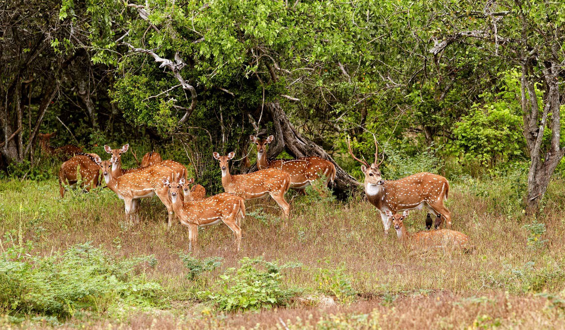 Spotted Deer harem