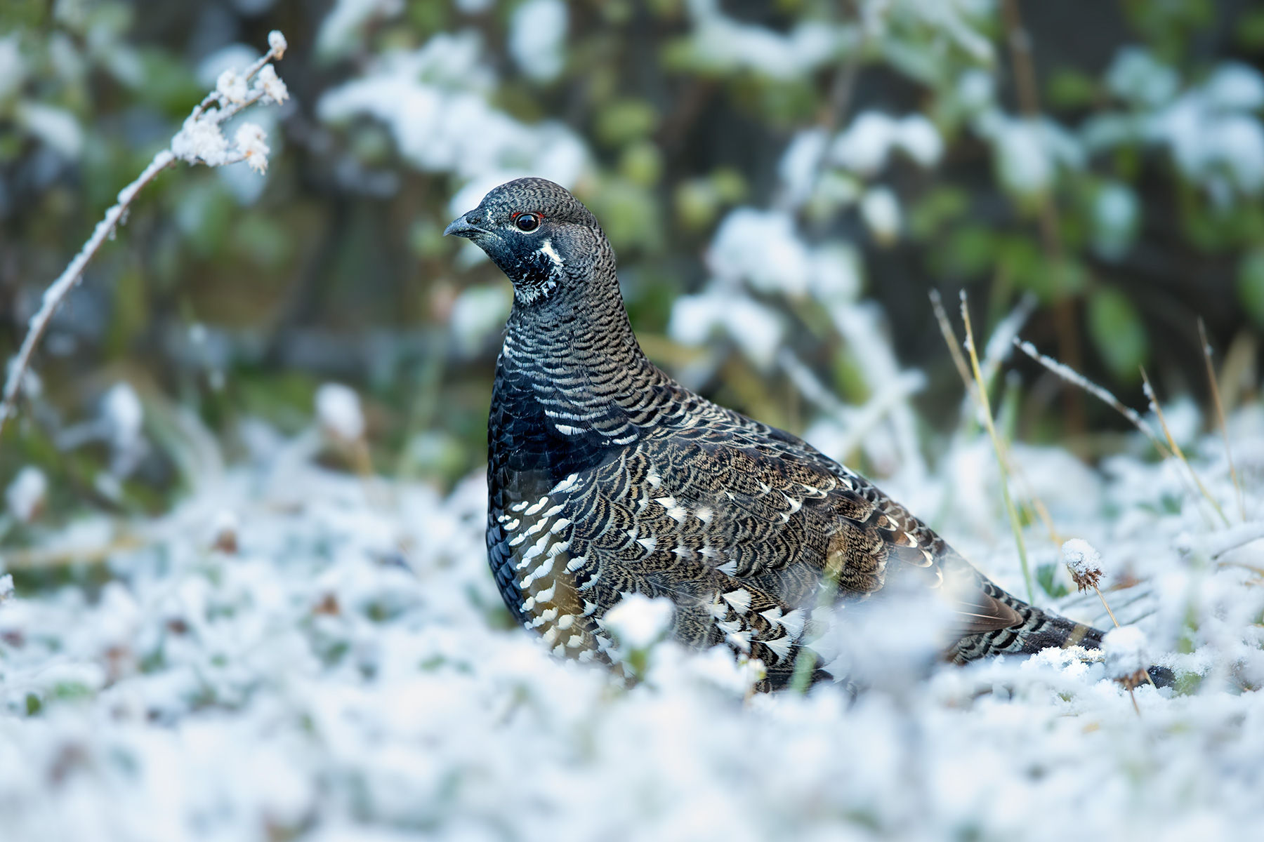 spruce grouse snow