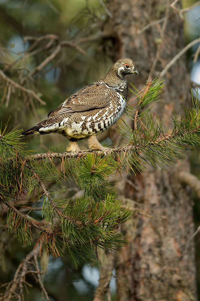 spruce grouse tree