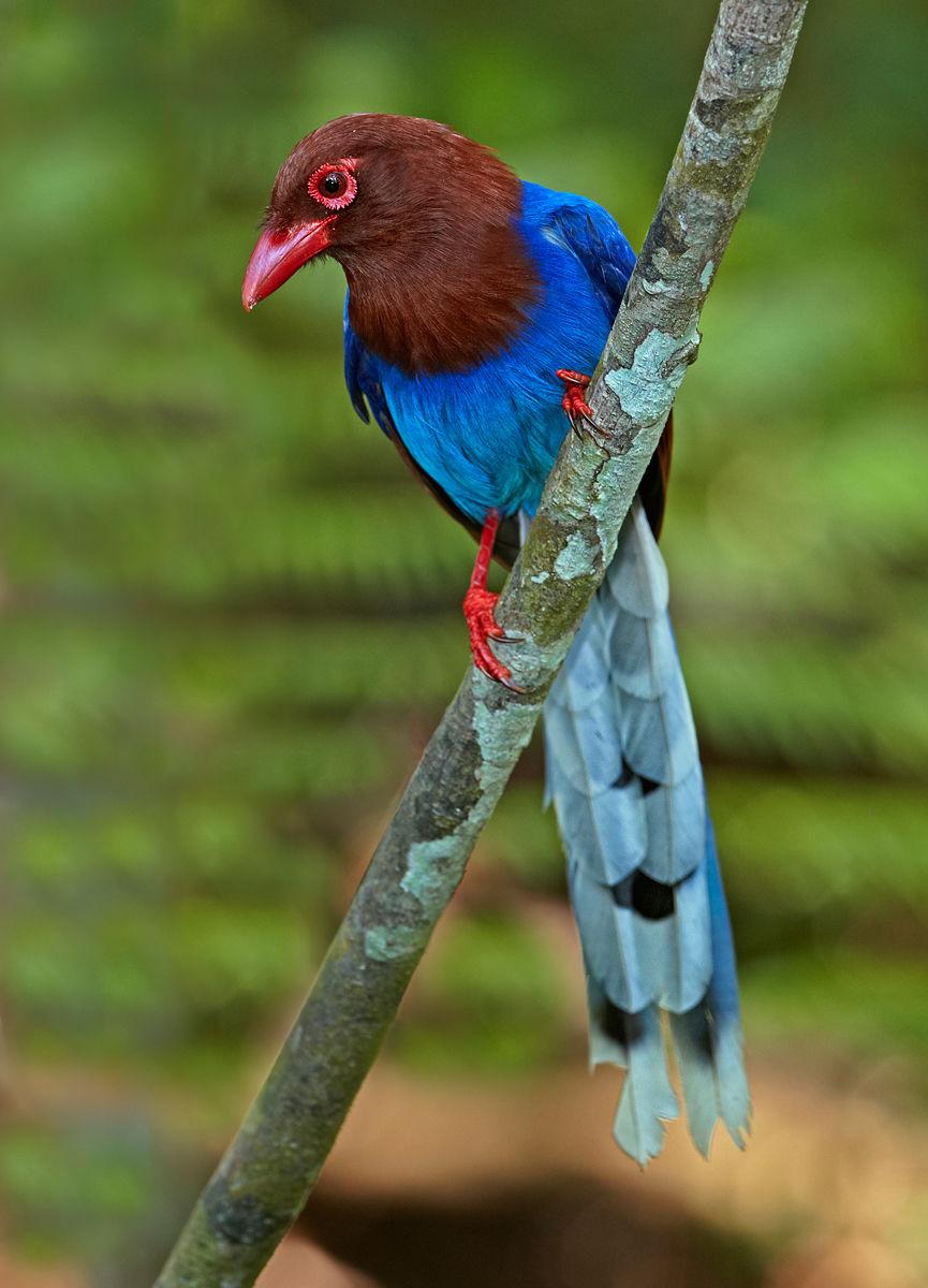 Sri Lanka Blue Magpie