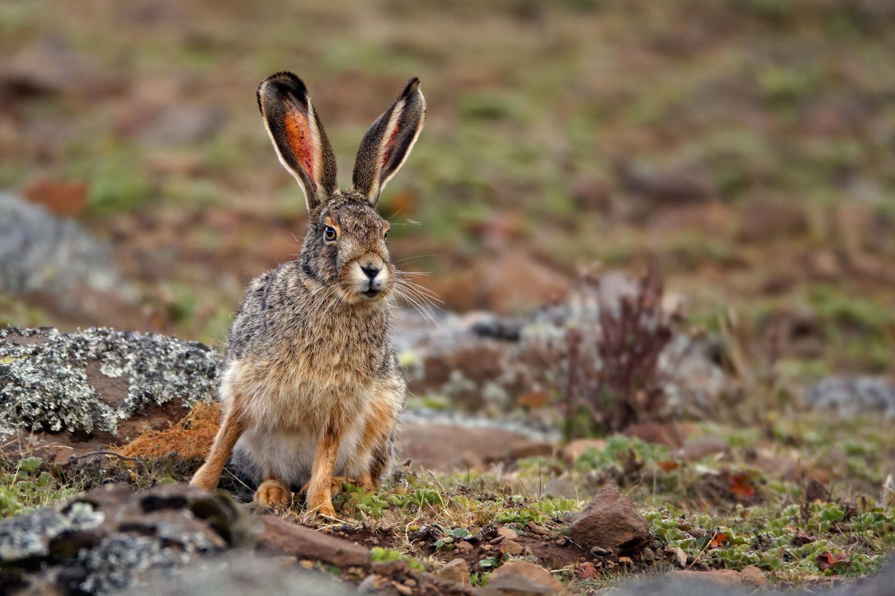 Starck's Hare