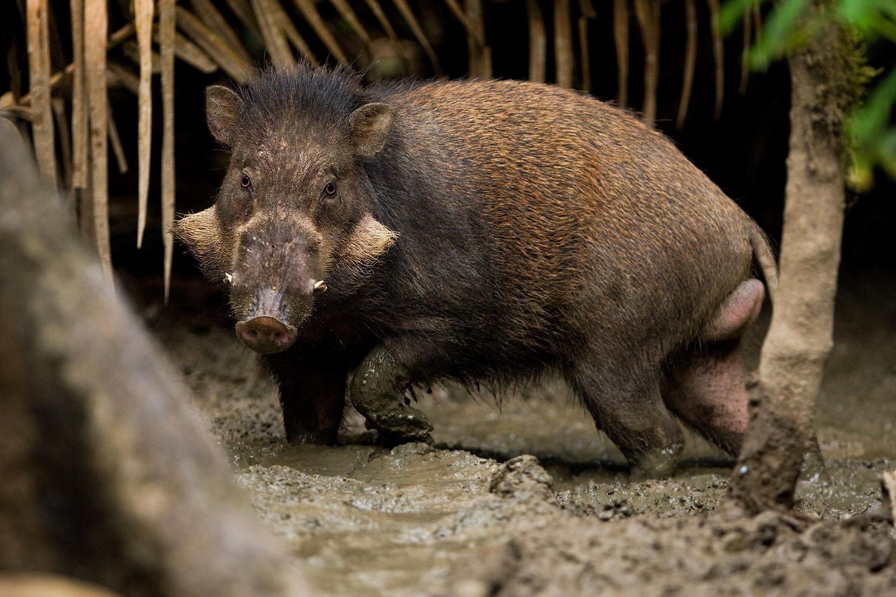 Sulawesi Wild Pig