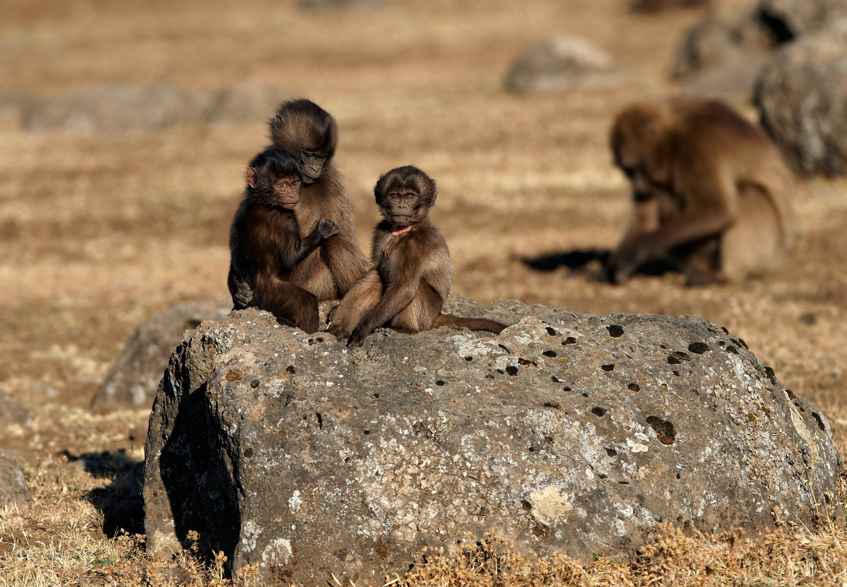 Gelada young