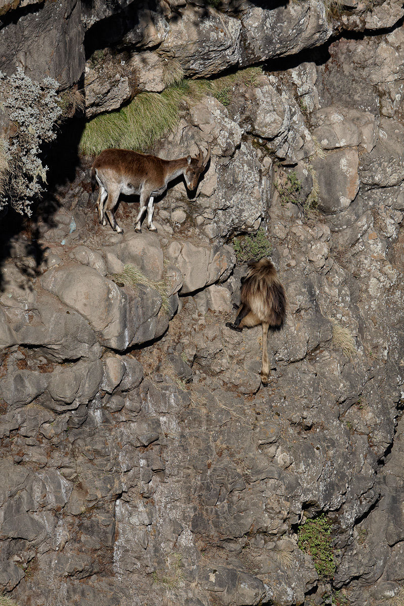 Walia Ibex and Gelada