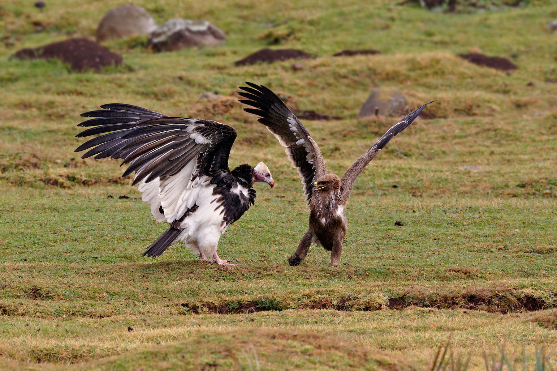 white headed vulture and steppe eagle