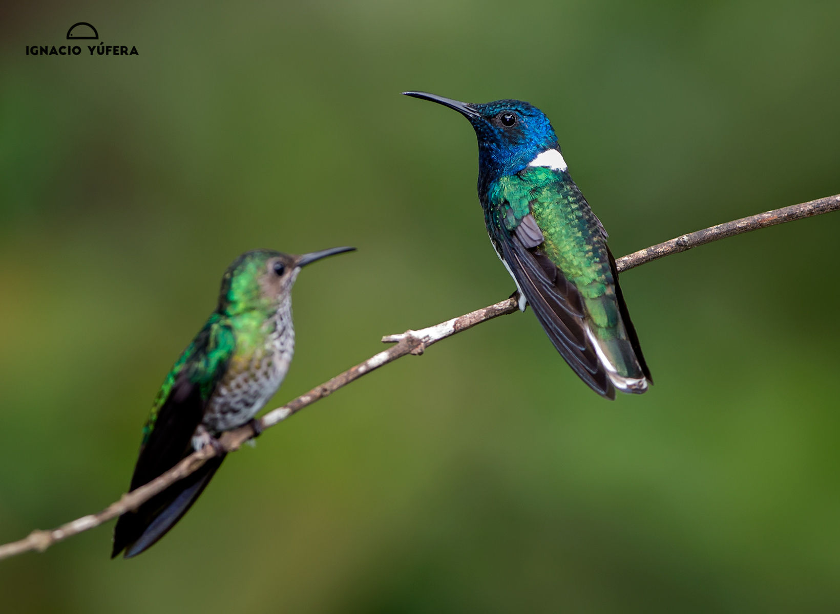 White-necked jacobin pair