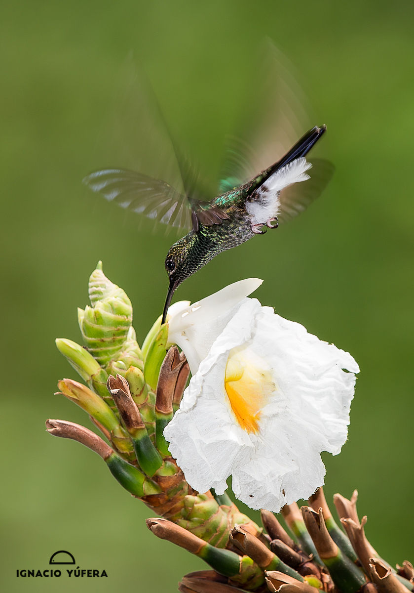 white vented plumeteer on flower