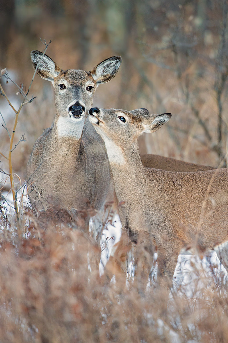 whitetail doe and young
