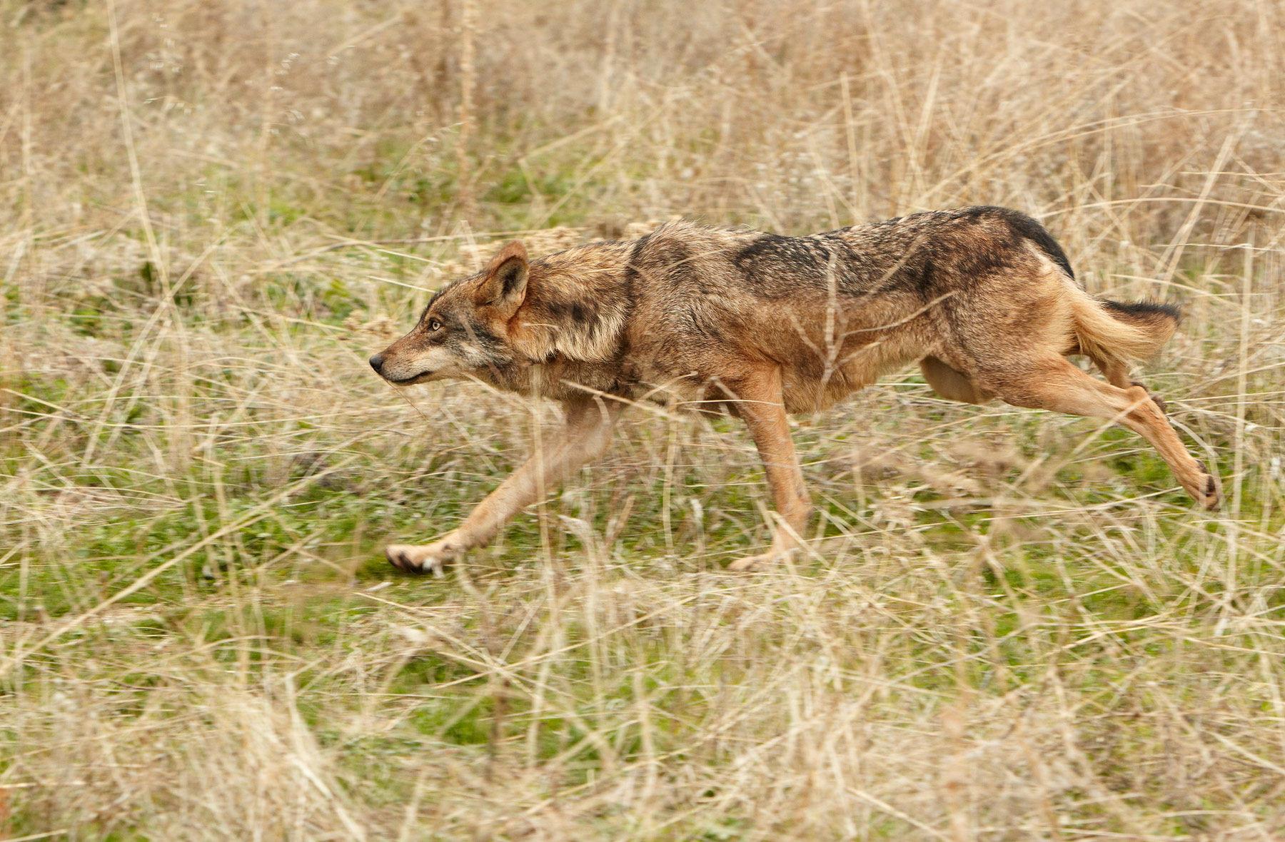 wolf female