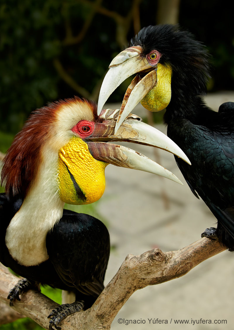 Wreathed hornbill pair