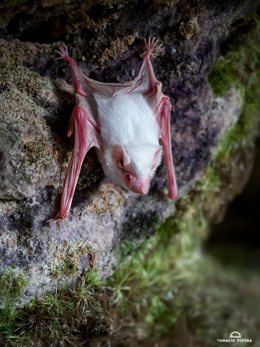 Greater Dog-like Bat (Peropteryx kappleri), albino specimen, Amazonas, Brazil