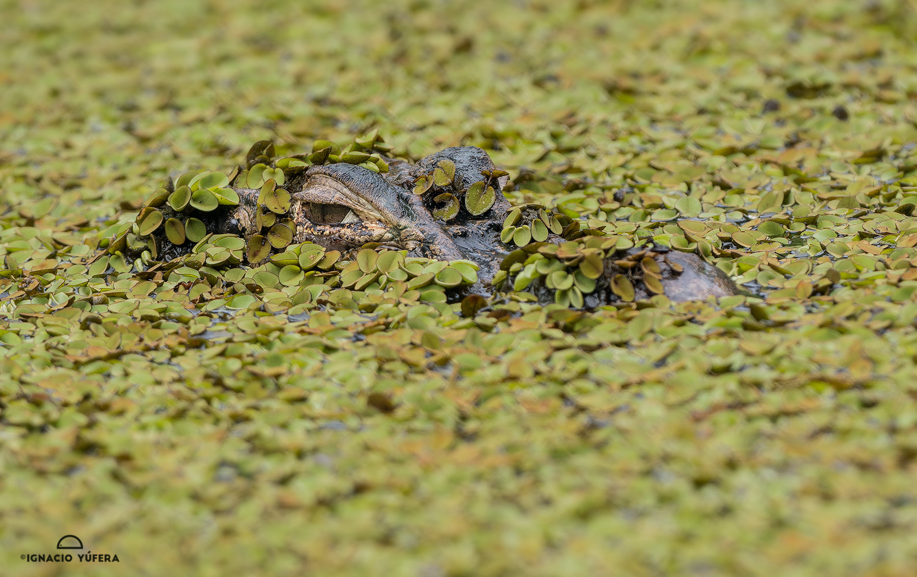 Black Caiman (Melanosuchus niger), in water lentil covered water, Amazonas, Brazil