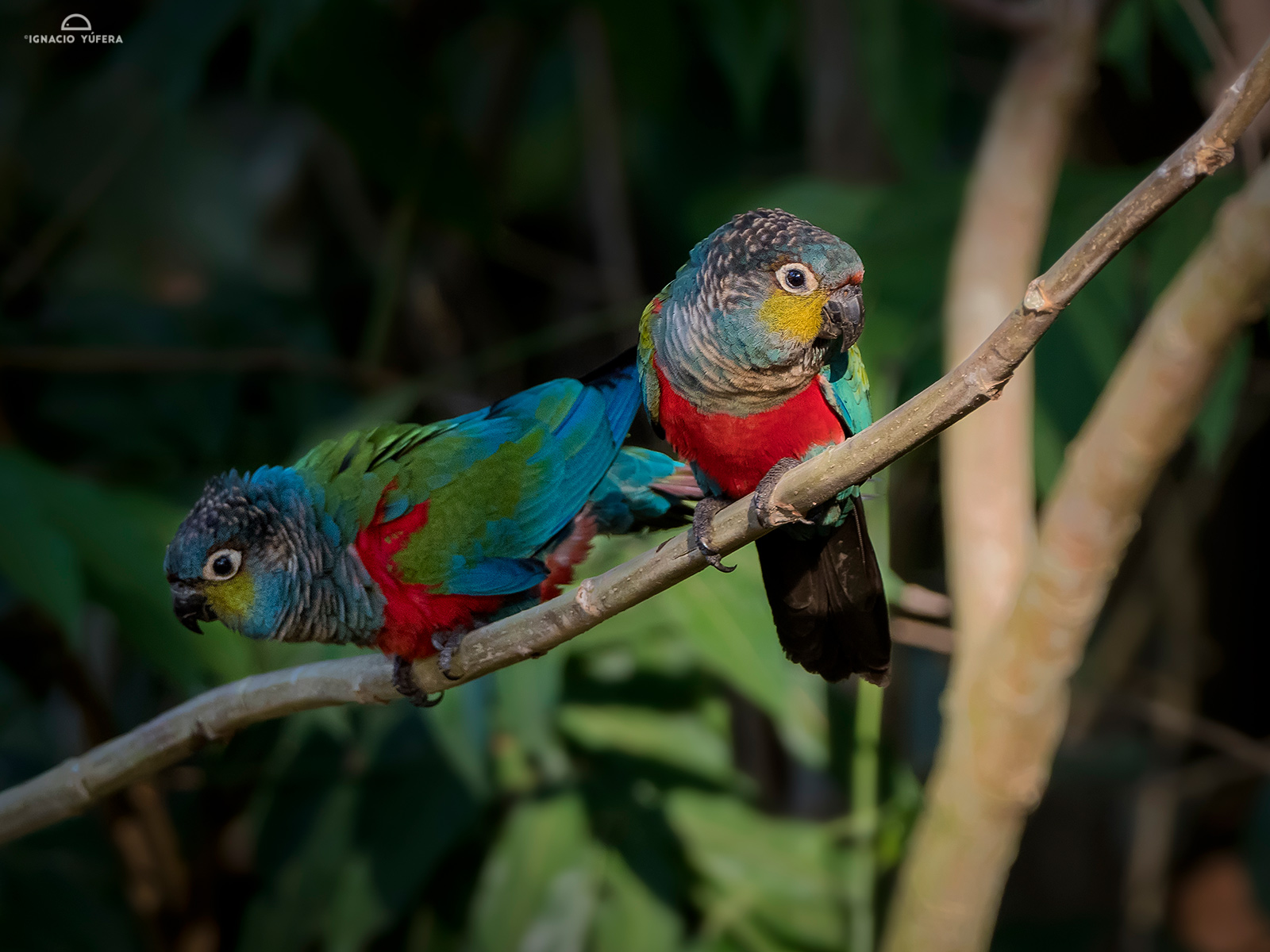 Crimson-bellied parakeets
