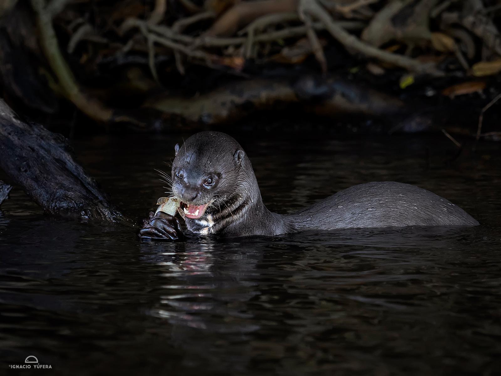 Giant River Otter (Pteronura brasiliensis)