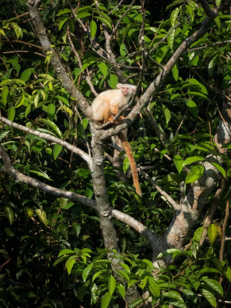 Golden-white Tassel-ear Marmoset (Mico chrysoleucus)