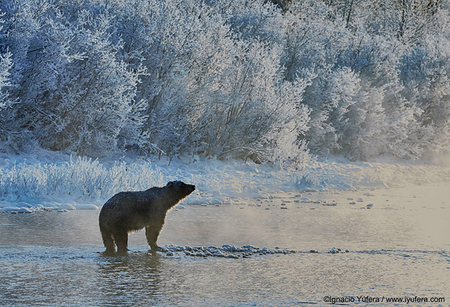 Grizzly frosted landscape