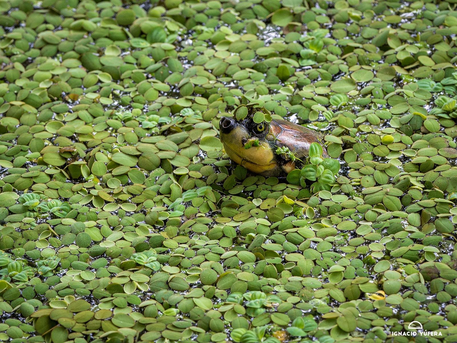 Arrau turtle (Podocnemys expansa)