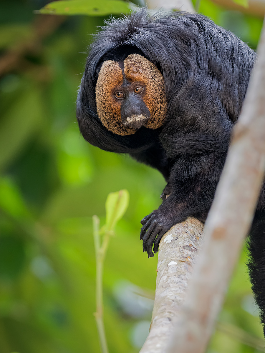 Golden-faced Saki (Pithecia chrysocephala)