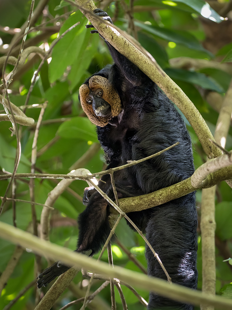 Golden-faced Saki (Pithecia chrysocephala), male, Amazonas, Brazil