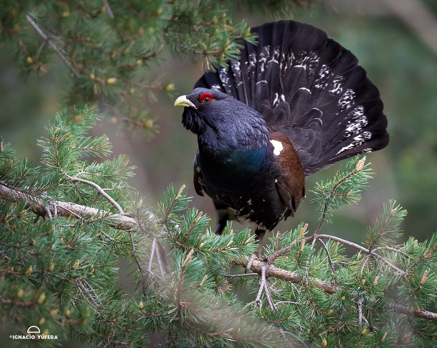 Western Capercaillie (Tetrao urogallus), male, Spanish Pyrenees.