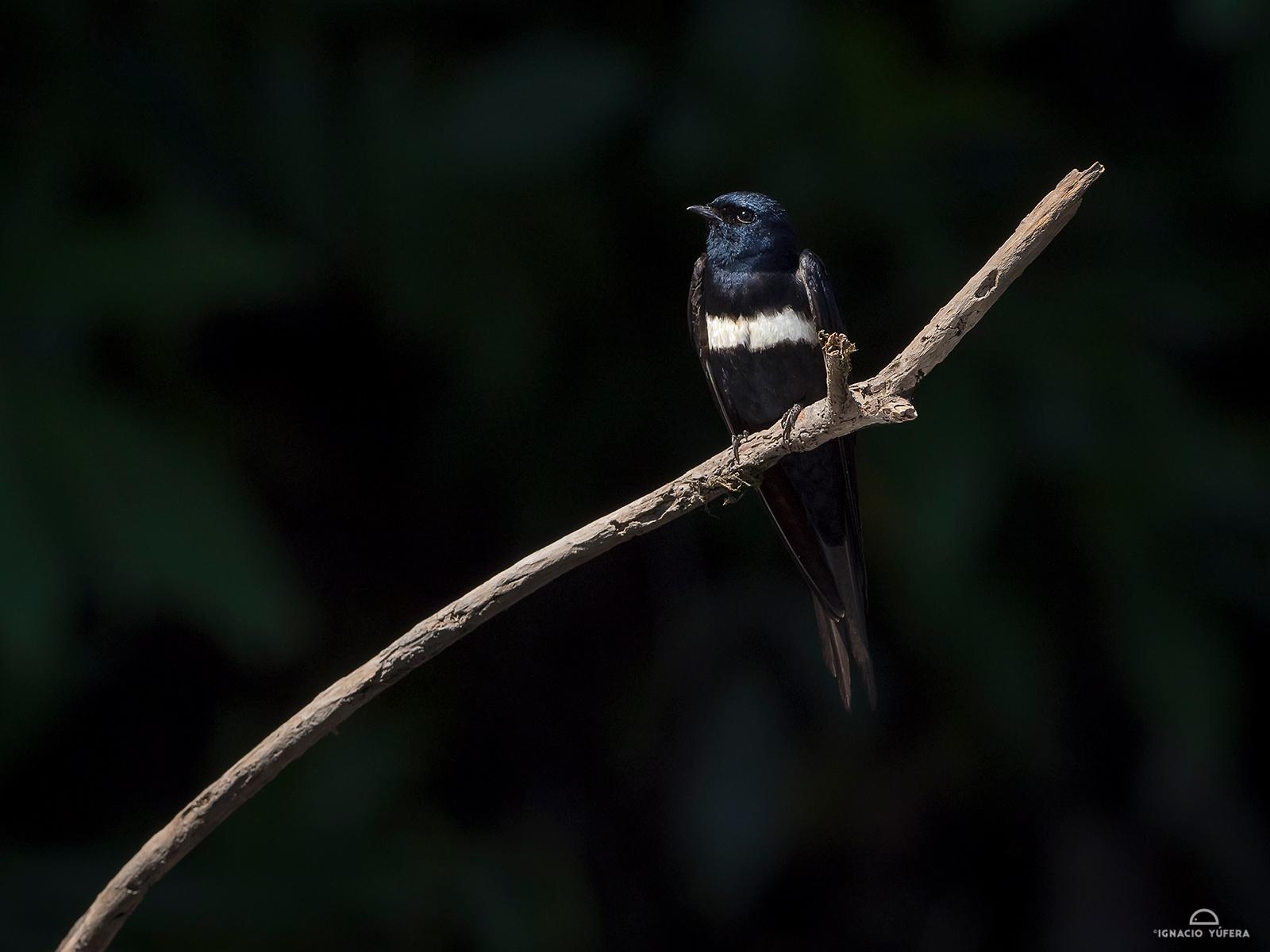 White-banded Swallow (Atticora fasciata)