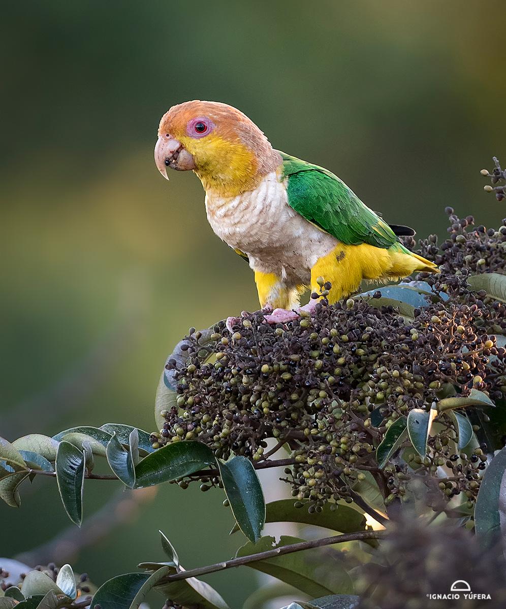 Yellow-tailed parrot (Pionites xanthurus)