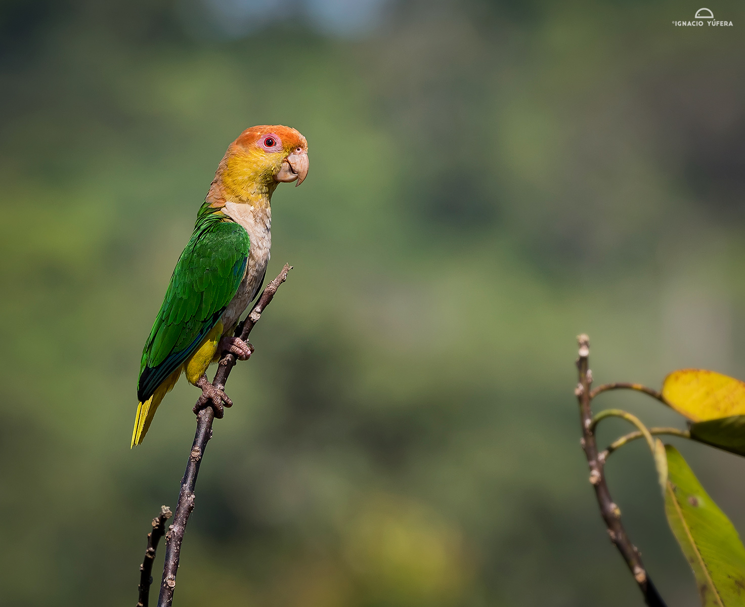 Yellow-tailed parrots (Pionites xanthurus)