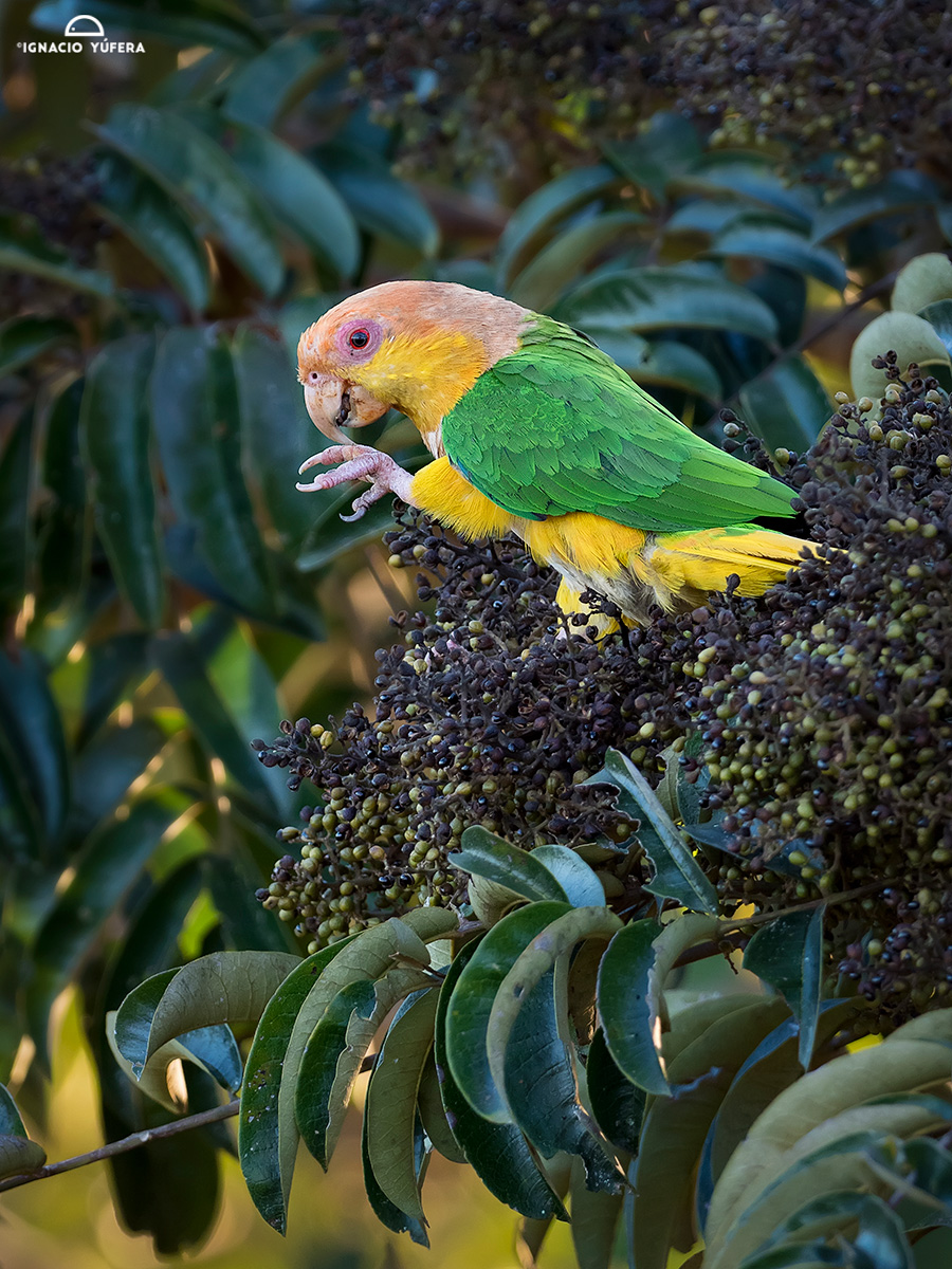 Yellow-tailed parrot