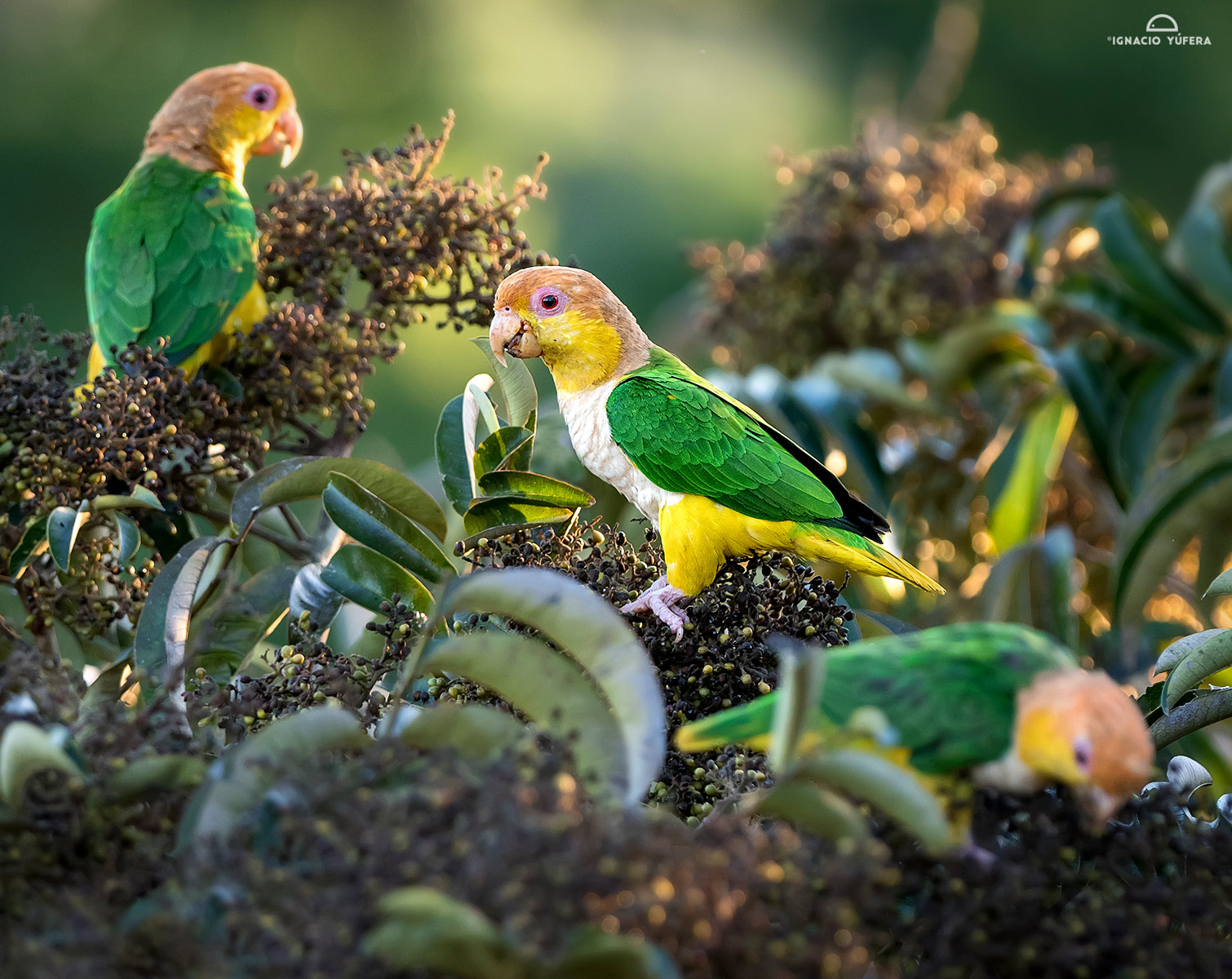 Yellow-tailed parrots
