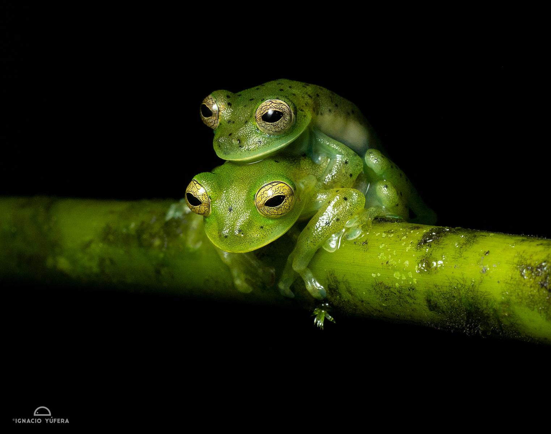 Emerald Glass Frog (Espadarana prosoblepon), pair in amplexus, Fortuna, Panama, June