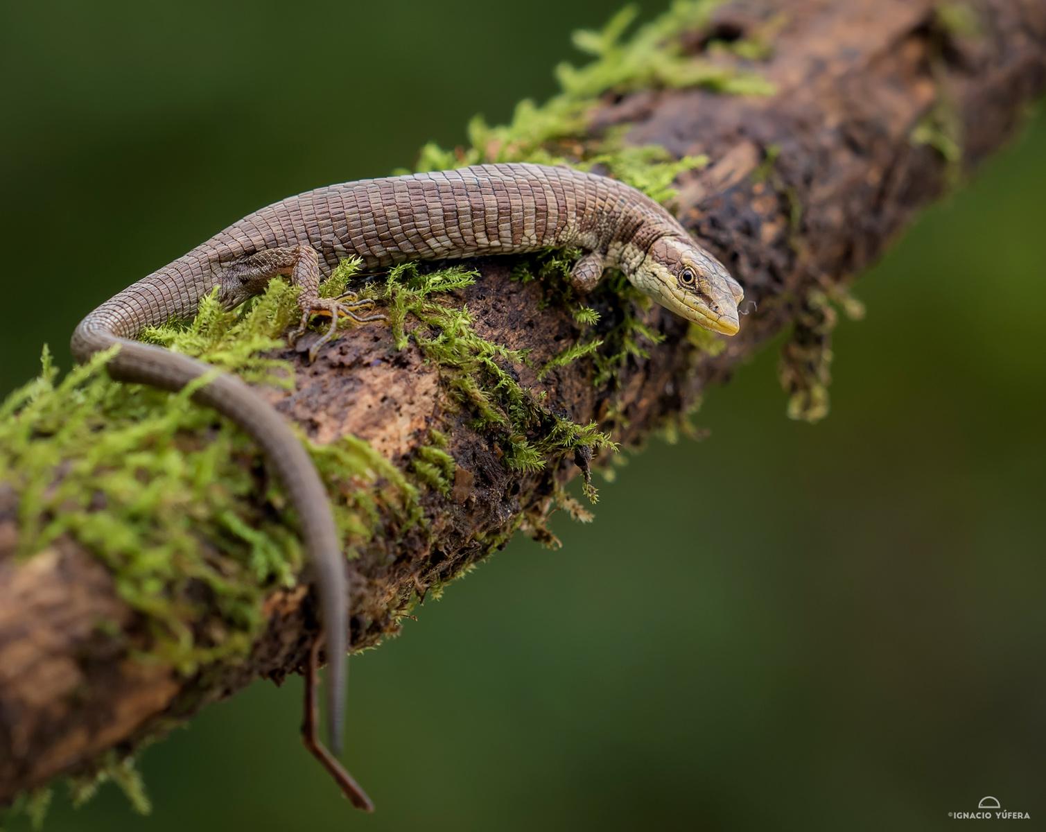 Anadia pulchella, Sierra Nevada de Santa Marta, Colombia