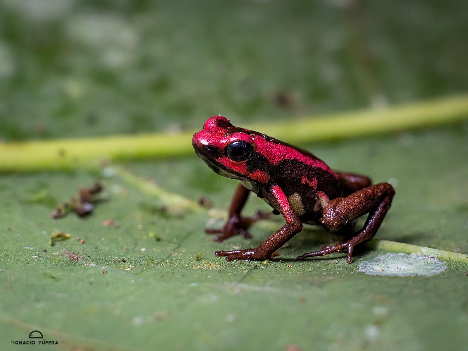 Andean poison-arrow frog (Andinobates bombetes), Barbas-Bremen, Colombia