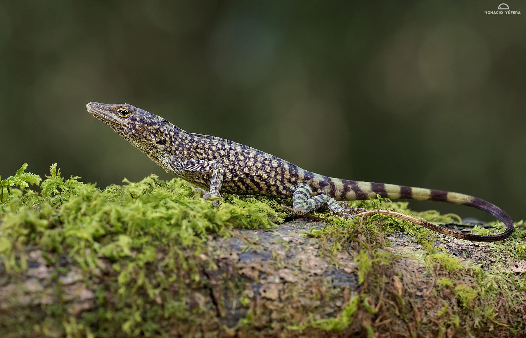 Anolis huilae, Tolima, Colombia