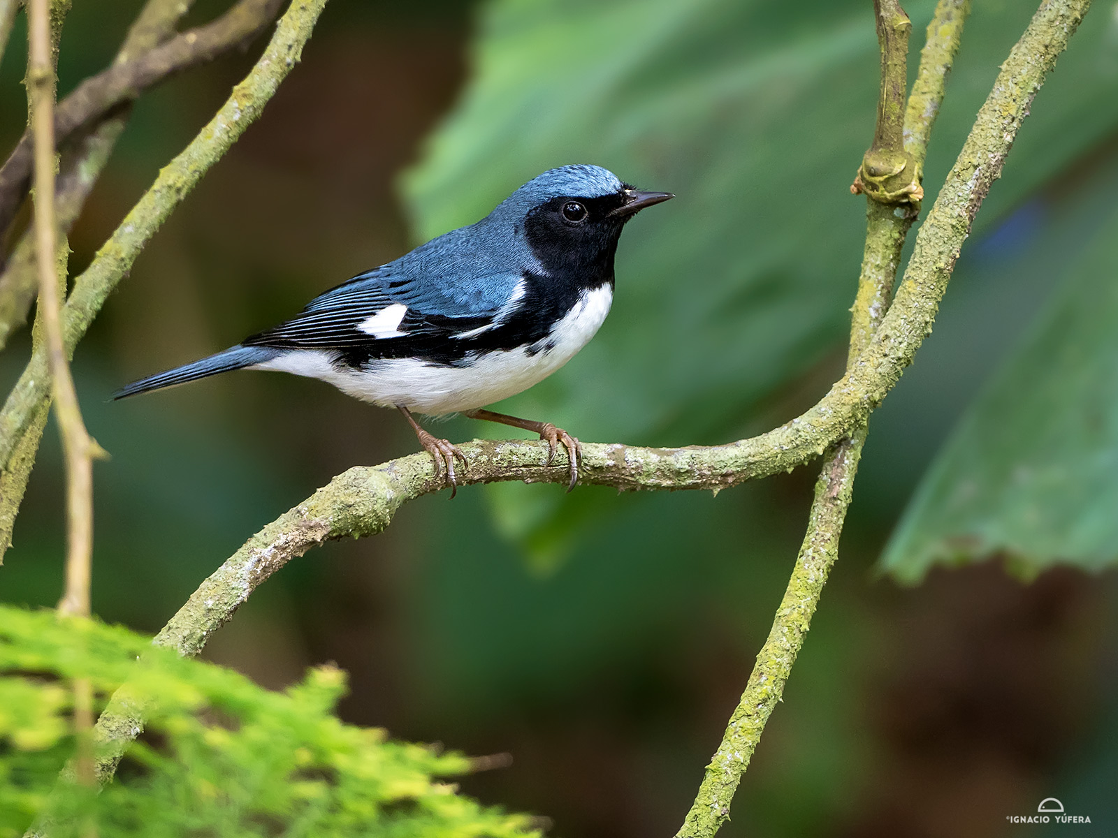 Black-barded Blue Warbler (Setophaga caerulescens), Montego Bay, Jamaica