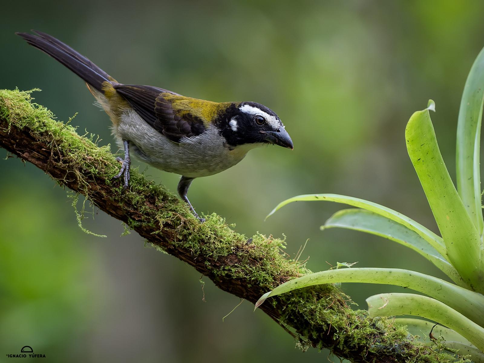 Black-winged Saltator (Saltator atripennis)