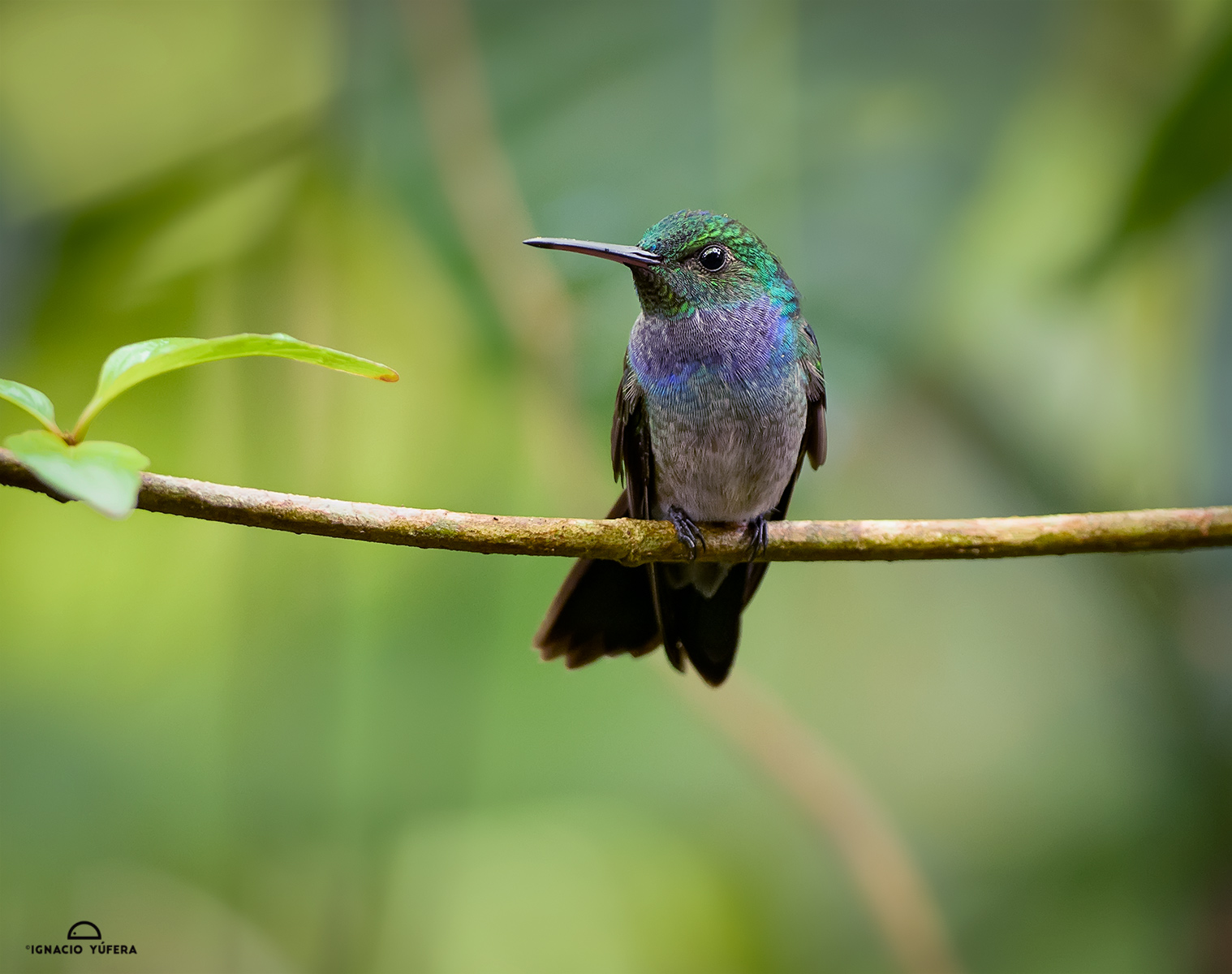 Blue-chested Hummingbird (Amazilia amabilis), Gamboa, Panama
