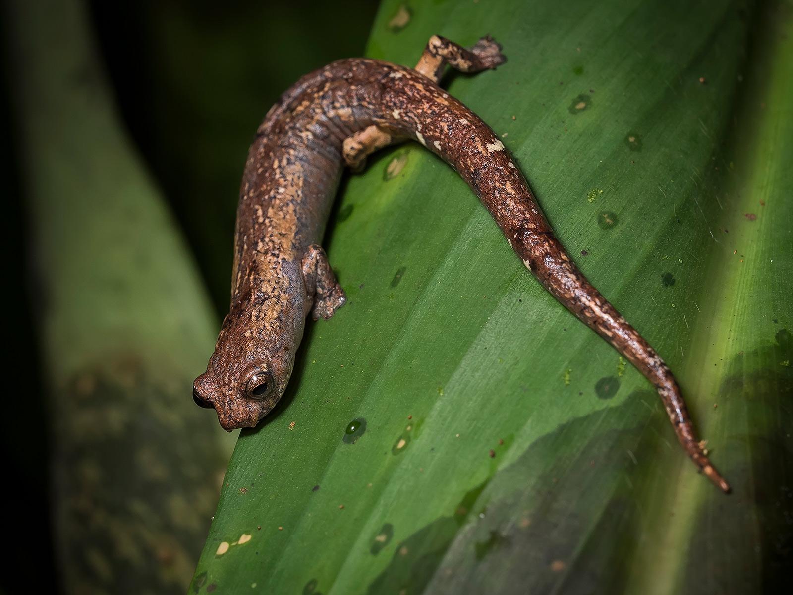 Bolitoglossa salamander, Sierra Nevada de Santa Marta, Colombia
