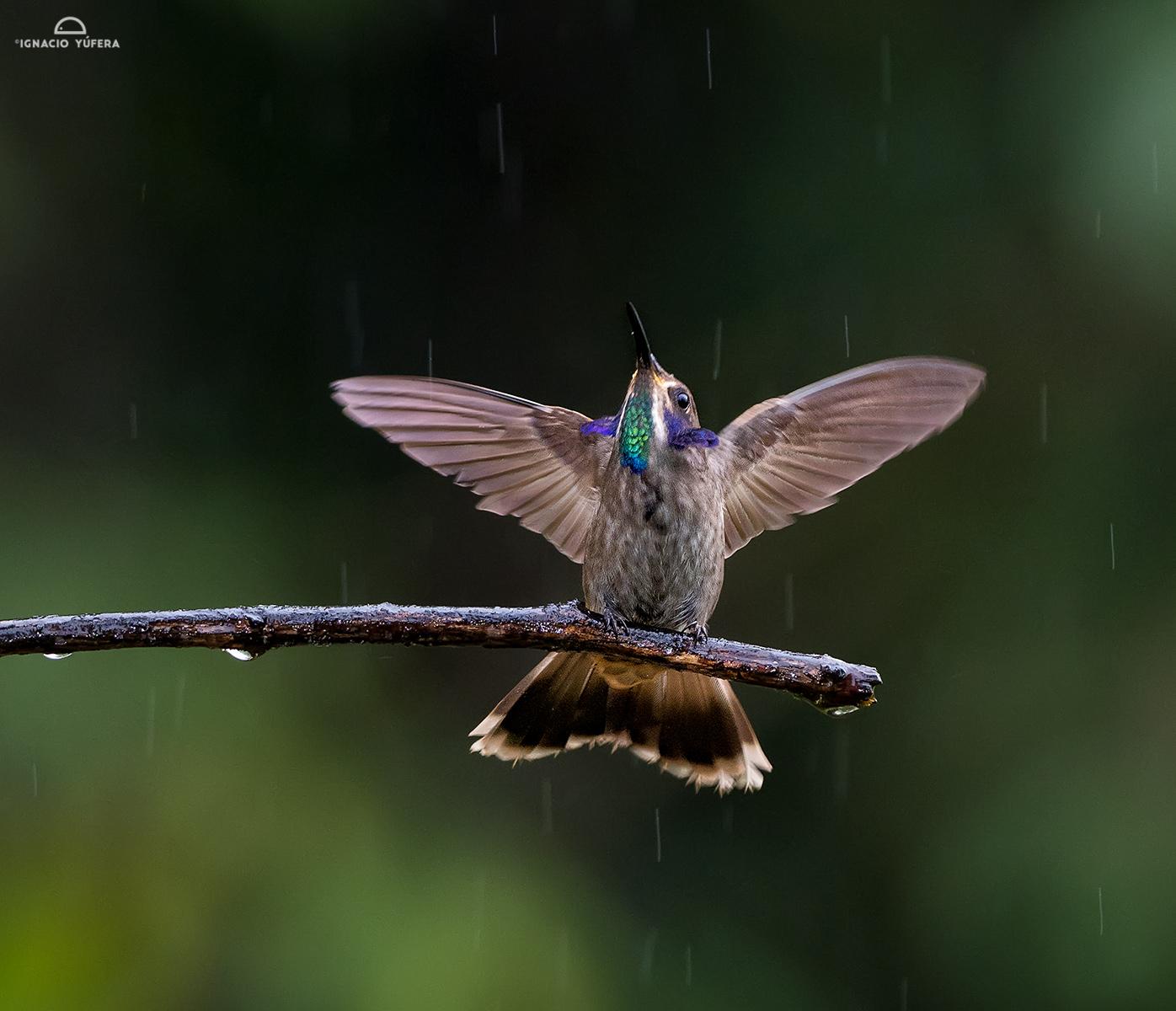 Brown Violetear (Colibri delphinae)